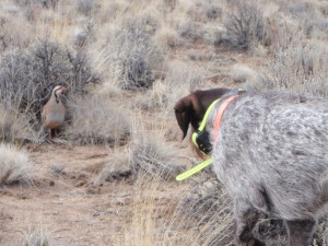 Uh oh ... nothing good can come of this. For the chukar.