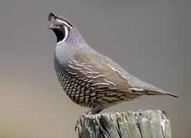 california_quail_glamor